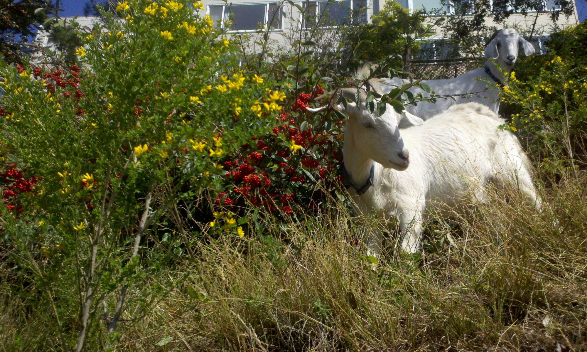 City Grazing . org
