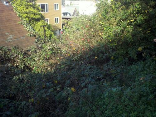 Bernal Blackberries
